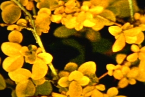 Still image from film (yellow flowers)